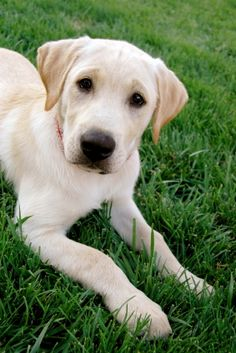 Google Image Result for http://www.petinsurance.com/healthzone/pet-articles/pet-breeds/~/media/All%2520PHZ%2520Images/Article%2520images/173yellowlabongrass.ashx