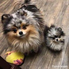 Más sobre Bold Pomeranian - Zwergspitze u andere süße Hunde - Perros Cute Dogs And Puppies, Baby Dogs, I Love Dogs, Doggies, Funny Puppies, Cute Little Animals, Cute Funny Animals, Beautiful Dogs, Animals Beautiful