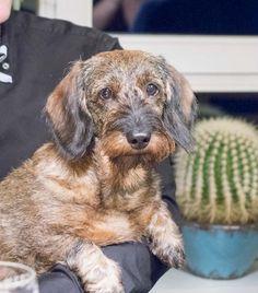 Ronja - ruhåret gravhund - wirehaired dachshund