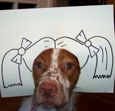 Brittany spaniel with pigtails.