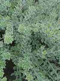Westringia-Morning-Light / low growing variegated shrub good for dry sunny slope.
