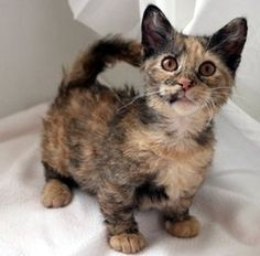 This is a munchkin cat. Yes - That's a real thing. Short legs caused by recessive gene. No, it doesn't hurt the cat in any way. They can do all the cool things that regular cats do.