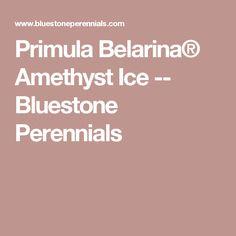Primula Belarina® Amethyst Ice -- Bluestone Perennials