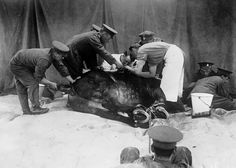 A horse is restrained while it is attended to at a veterinary hospital in 1916. (Bibliotheque nationale de France)