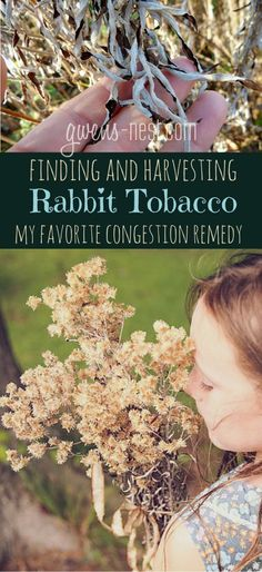 Rabbit tobacco herb is one of my favorite remedies for chest congestion, and I'll show you how to ID, collect, and process it yourself!