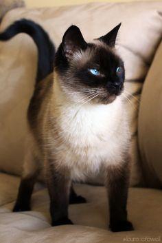 Gato siamês é uma raça de gato oriental, caracterizada por um corpo elegante e longilíneo e uma cabeça marcadamente triangular. Pode ser confundido com a raça de gatos thai que tem origem na raça siamesa mas apresenta uma morfologia bem distinta. Aconselhável para uma família. São precisos poucos cuidados com o pelo. Mais