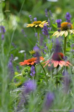 connie-awanderingsoul: Echinacea and Lavender