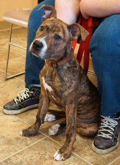LANEY  is a darling female Pit Bull puppy. She was found in the Town of Mohawk and came to the shelter on April 4, 2014. She's a doll, very loving and ready for lots of playtime and exercise.