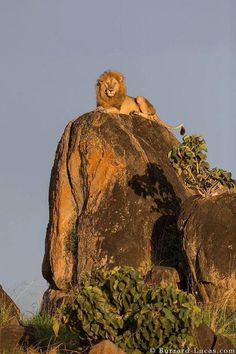 """The King Surveys His Kingdom."" Uganda's Kidepo Valley National Park. (Photo By: Burrard-Lucas Wildlife Photography: Pixdaus.)"