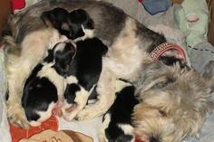 Teacup Biewer Yorkie Puppies
