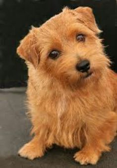 Norfolk Terrier Puppy. Okay...my heart has just melted. The color is amazing and his eyes are begging for attention. Happy Dog Box has free toys and free treats. Sign up to get them kids:) I would take this little guy everywhere with me.