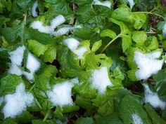 Acanthus in snow, Jan 21. http://www.mandycanudigit.co.uk/#!big-leaves/cvhv