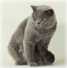 gato británico de pelo corto / British shorthair  http://es.wikipedia.org/wiki/British_Shorthair  http://en.wikipedia.org/wiki/British_Shorthair