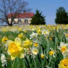Spring gardens of #mossmountainfarm #joy #vanbloem #pallensharethebounty  #daffodils