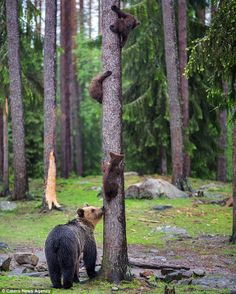Bear mom and first climb for cubs 🐻🐻🐻 Finland. Photo by Wildlife Nature, Nature Animals, Animals And Pets, Baby Animals, Cute Animals, Animal Babies, Nature Nature, Beautiful Creatures, Animals Beautiful