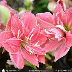 So pretty! #Amaryllis #bulbs never cease to #amaze me with their prolific #blooms . A feast for the eyes!  Enjoy your day!   #Amaryllis   #Hippeastrum   #royalcolors #Floral #Flower #Bloom #Beautiful #Amazing #bulbs #keukenhof #Netherlands   #амариллис   #アマリリス   #孤挺花   #amarilis  royalcolors.com   #flowers