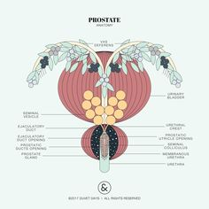 Prostate anatomy illustration. Please email hello@duvetdays.org for inquiries for digital download purchases. #maleanatomy #prostate #art #illustration #infographic #graphicdesign