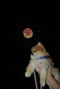 4th of july firework with Cocoa puff pomeranian from #Ashley McGill