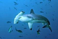 BioOrbis: O Sexto Sentido do Tubarão-Martelo