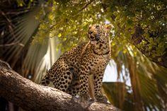 The leopard (Panthera pardus). ©Matt Engelmann