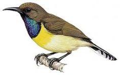Newton's Sunbird (Anabathmis newtonii)