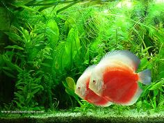 lovely discus