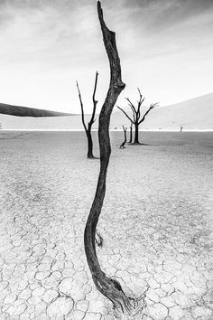 Ethereal tree scape, Deadvlei - The trees of Deadvlei are over 100 years old - left as desiccated remnants of a wetter period in the past.