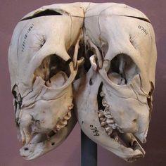 2-headed calf skull