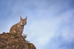 Lynx on a rock by Mario Moreno