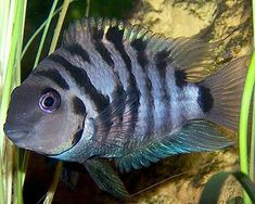 In this weeks episode of iN-dEPTH we take a closer look at the Black Convict Cichlid. This aggresive cichlid is one of the most well known freshwater fish du. Beautiful Tropical Fish, Beautiful Fish, Betta, Freshwater Aquarium Fish, Fish Aquariums, Cichlid Fish, Tropical Fish Tanks, Cool Fish, Pet Fish