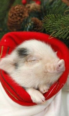 19 Incredibly Cute Photos of Mini Pig - Camille DePoyster - 19 Incredibly Cute Photos of Mini Pig Pig in a blanket! Cute Baby Pigs, Cute Piglets, Cute Baby Animals, Animals And Pets, Funny Animals, Farm Animals, Teacup Pigs, Amor Animal, Mini Pigs