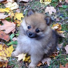 Pomeranian Cutie!