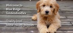 Goldendoodle Puppies for Sale - Find your Best Friend Standard Goldendoodle, Goldendoodle Puppy For Sale, Puppies For Sale, Cute Puppies, Dogs And Puppies, Perfect Image, Perfect Photo, Love Photos, Cool Pictures