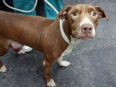 SUPER URGENT 11/26/14 Manhattan Center   AVELINE - A1021601 *** BEGINNER HOME *** LARGE RUPTURED MASS ON BELLY ***  FEMALE, BROWN / WHITE, PIT BULL MIX, 5 yrs STRAY - STRAY WAIT, NO HOLD Reason ABANDON  Intake condition INJ SEVERE Intake Date 11/25/2014, From NY 10029, DueOut Date 11/28/2014,  https://www.facebook.com/Urgentdeathrowdogs/photos/a.617942388218644.1073741870.152876678058553/912041088808771/?type=3&theater