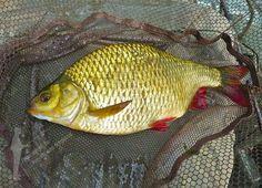 A halak között a vörösszárnyú keszeg ritkán ér el ekkora súlyt. A rekord kg. Colorful Fish, Tart, Trout, Comet Goldfish, Pie, Tarts, Torte