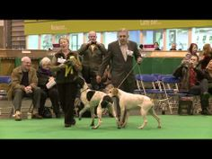 dfs Crufts 2011 Pointer Best of Breed - YouTube