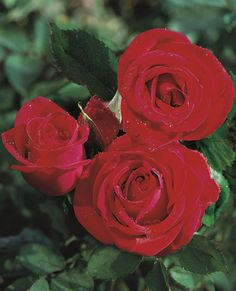Veteran's Honor Hybrid Tea Rose - This long stemmed rose is exceptionally vigorous and upright in growth habit. Exquisite deep red buds open into magnificent blooms. Sure to be a most popular attraction in your garden.