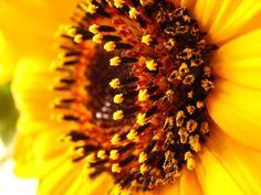 sun flower Nature Plants, Planting Flowers, Dandelion, Sun, Dandelions