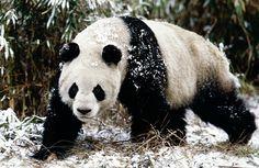 Panda Bear Facts For Kids | Amazing Giant Panda Bear Facts For ...