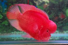 indonesian flowerhorn