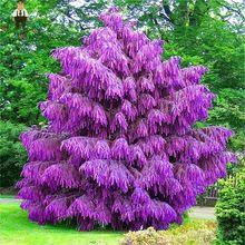 100 Sztuk Rzadko Fioletowy Pinus Nasiona Chinski Evergreen Rosliny Bonsai Drzewa Sosnowego Nasion Byliny Ogrodowe Four Bonsai Tree Evergreen Plants Pine Seeds