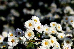서리 맞으며  길 가에 피었어도  사람들의 마음을  아름답게 만들고  다들 잎을 떨구어도  꽃을 피우며  미소짓게 만드니  선비의 풍모를  닮았습니다.  지금 우리에게  필요한 꽃입니다.