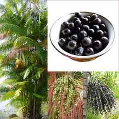 Acai Berry and how it can Help Fight Cancer!