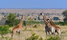 Giraffe photographed on the Near Lower Sabie in the Kruger National Park Elephant Walk, Giraffe, Portrait Images, Pet Portraits, Kruger National Park, National Parks, Lion Walking, Buffalo Bulls, Cheetahs
