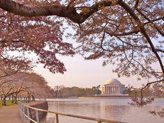 Jenny Steffens Hobick: Washington DC Cherry Blossom Festival | DC Cherry Blossoms in Bloom