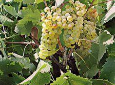 A white cultivar with a distinct character, Goustolidi (Vostylidi) is cultivated on the Ionian islands and the Peloponnese, yielding fatty wines of mature aromas.