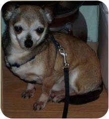 Spanaway, WA - Chihuahua. Meet Gucci a Dog for Adoption.