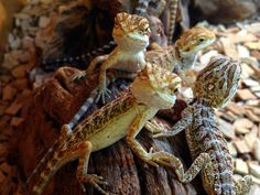 reptiles, bearded dragon babies at the Northampton Reptile Centre!