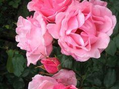 Rosa 'Queen Elizabeth' (stamroos)  Rosa 'The Queen Elizabeth Rose' is een grootbloemige doorbloeiende roos met ontelbaar veel helderroze bloemen. Glanzend groene bladeren.  Rosa 'The Queen Elizabeth Rose' bloeit vanaf juni tot in oktober. Rosa 'The Queen Elizabeth Rose' staat graag op een zonnige plek.