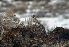 Horned Lark, Craters of the Moon National Monument, Idaho (pinned by haw-creek.com)